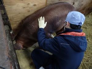 【動物検疫所】収容畜舎での豚の検査_個体検査(指針、聴診、触診)