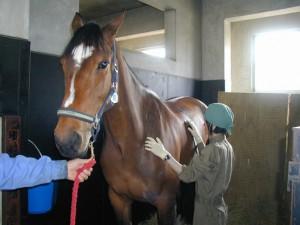 【動物検疫所】収容畜舎での馬の検査_個体検査(指針、聴診、触診)