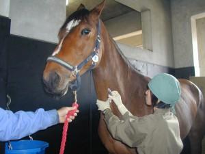 【動物検疫所】収容畜舎での馬の検査_頚動脈からの採血
