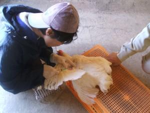 【鳥取県写真】鶏採血